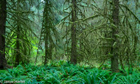 Olympic NP Forest 10