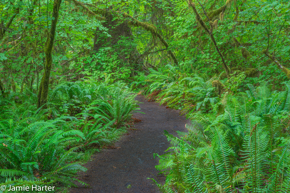 Olympic NP Forest 11