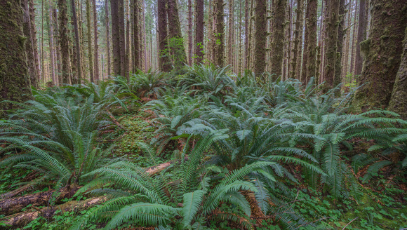 Olympic NP Forest 3